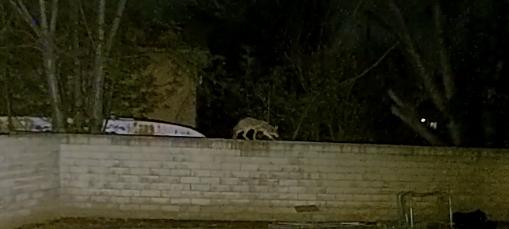 Coyotes in San Dimas